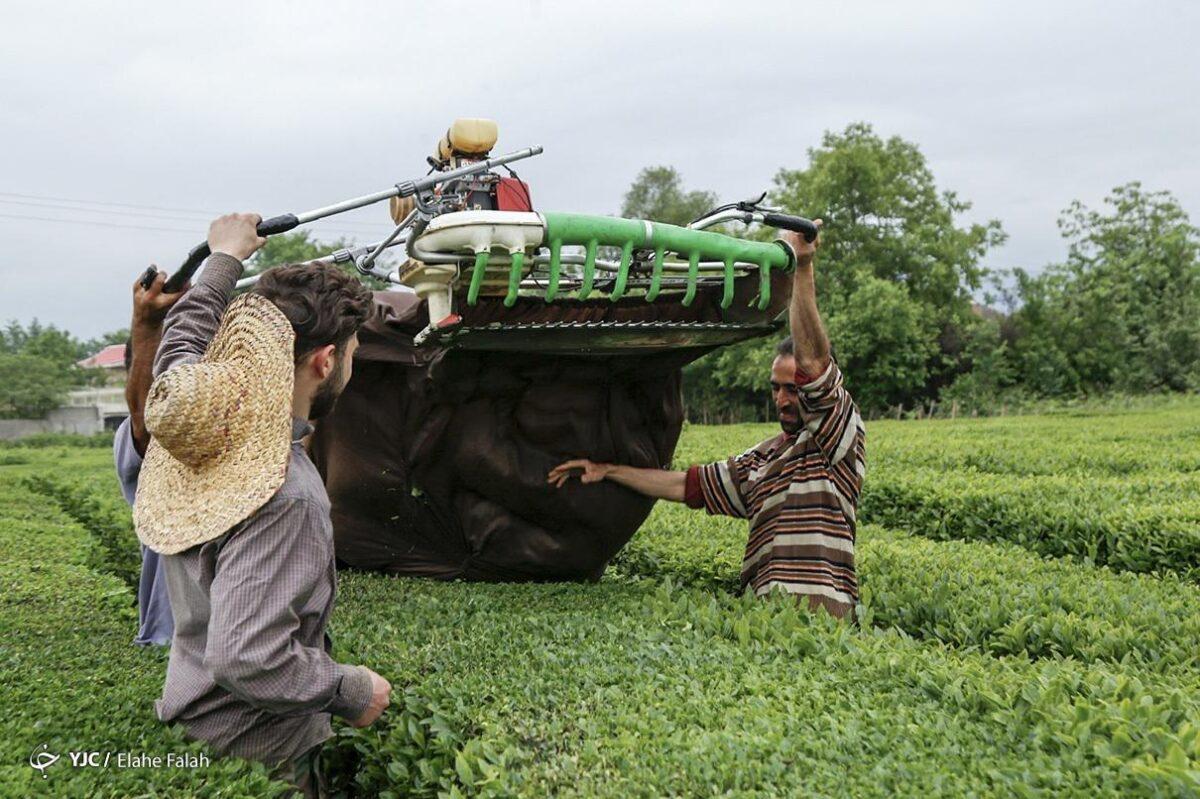 تصاویری از برداشت برگ سبز چای در گیلان 4 scaled - تصاویری از برداشت برگ سبز چای در گیلان