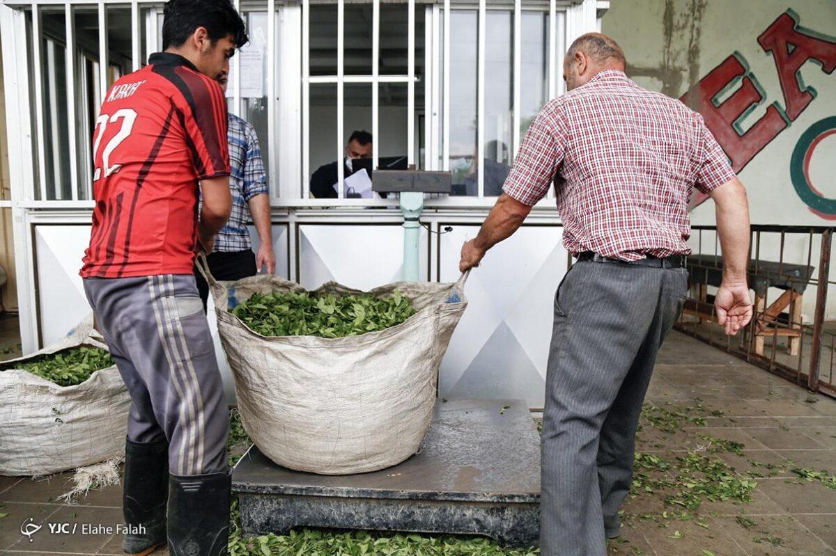 تصاویری از برداشت برگ سبز چای در گیلان 5 scaled - تصاویری از برداشت برگ سبز چای در گیلان