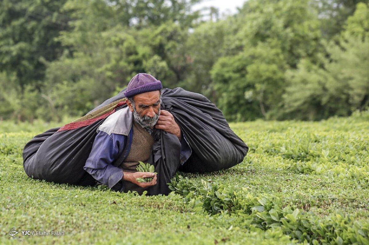 تصاویری از برداشت برگ سبز چای در گیلان 7 scaled - تصاویری از برداشت برگ سبز چای در گیلان