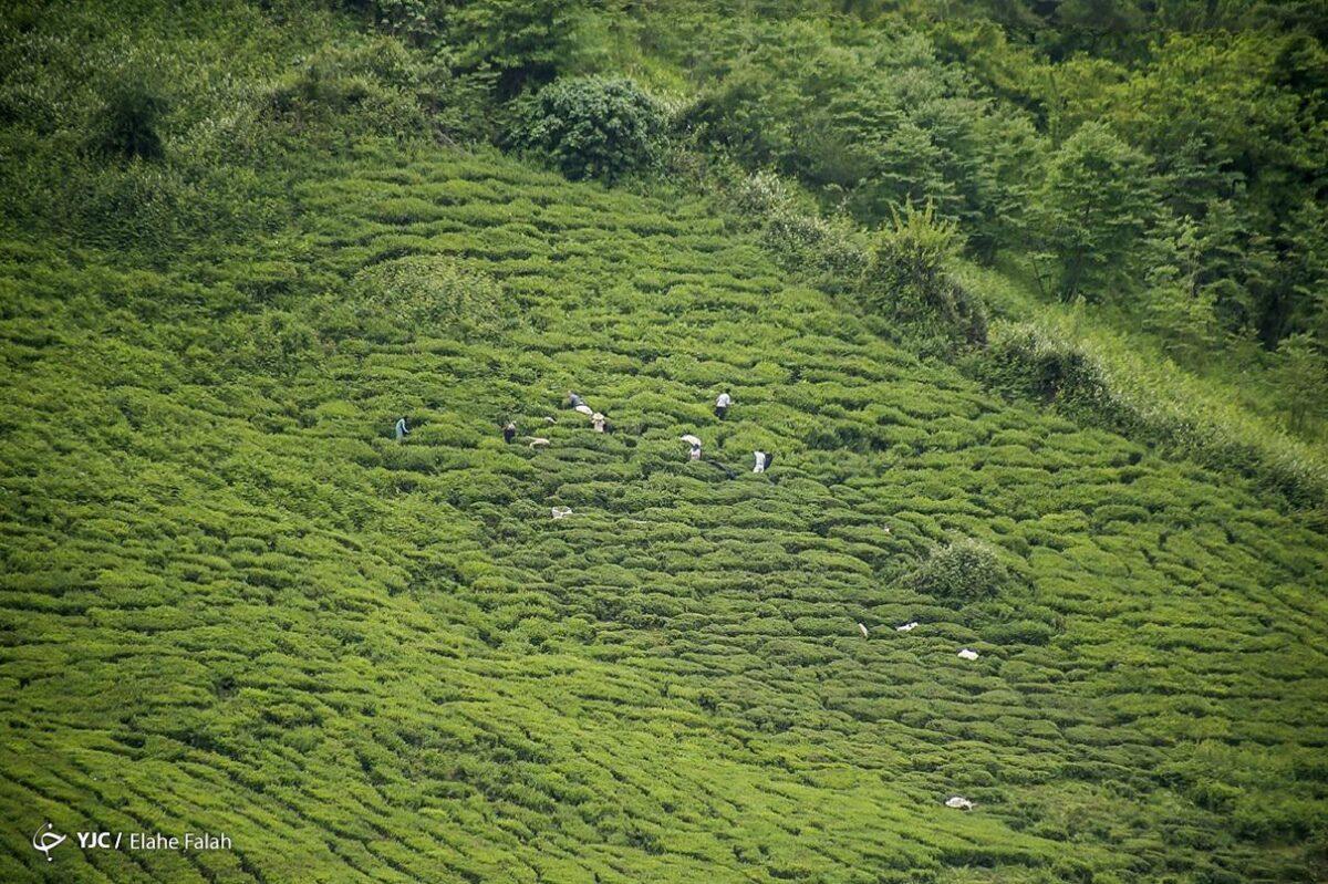 تصاویری از برداشت برگ سبز چای در گیلان 8 scaled - تصاویری از برداشت برگ سبز چای در گیلان