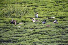 تصاویری از برداشت برگ سبز چای در گیلان
