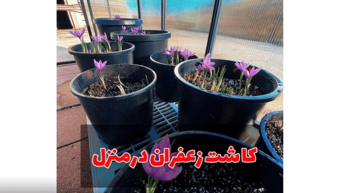 3 700x393 - آموزش صفر تا صد کاشت زعفران در منزل