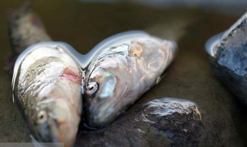 مرگ ماهی - تلف شدن صدها ماهی تالاب عینک رشت/ جمع آوری لاشه ها همچنان ادامه دارد
