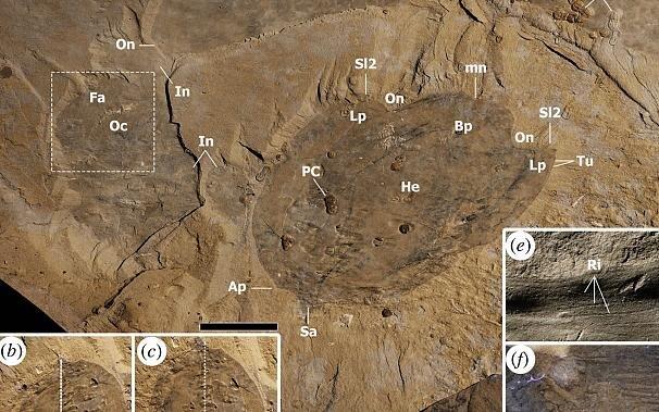 15219832 - کشف یک حیوان متعلق به ۵۰۰ میلیون سال قبل / اندازه این حیوان واقعا شگفتآور است! + عکس